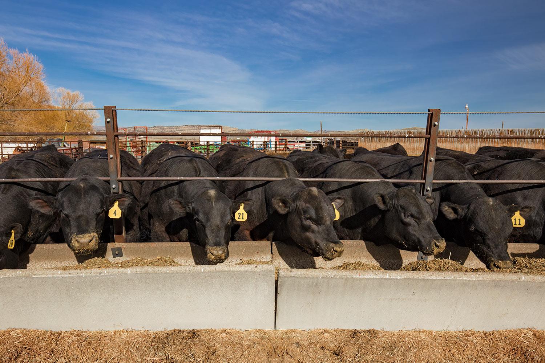 Bulls Feeding