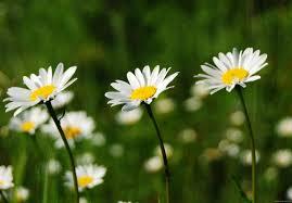 chamomile daisies.