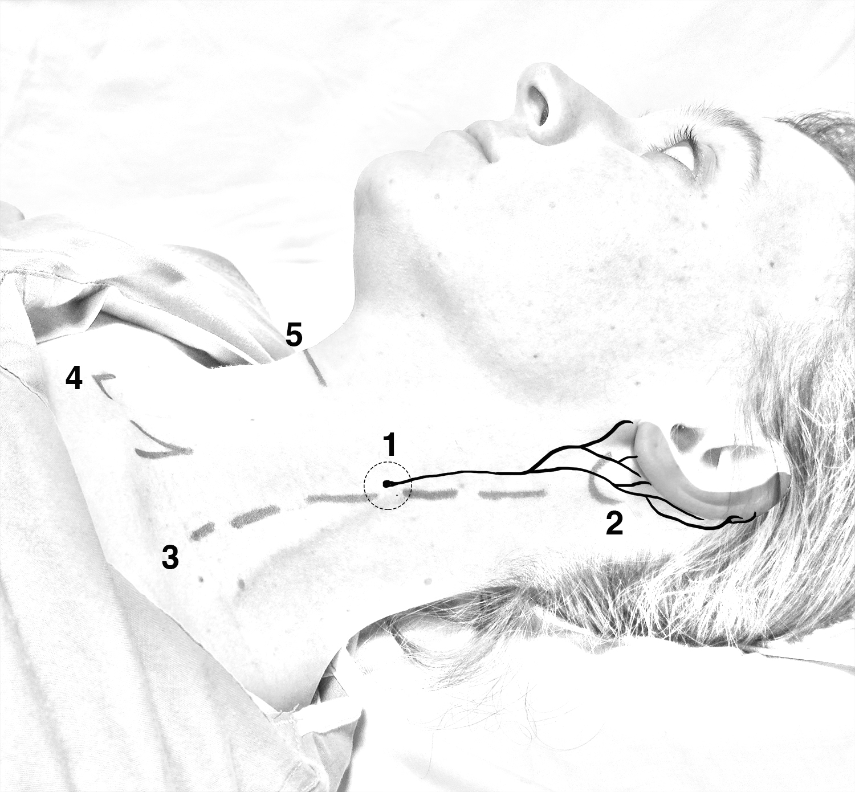 Anatomy gtr auricular.jpg