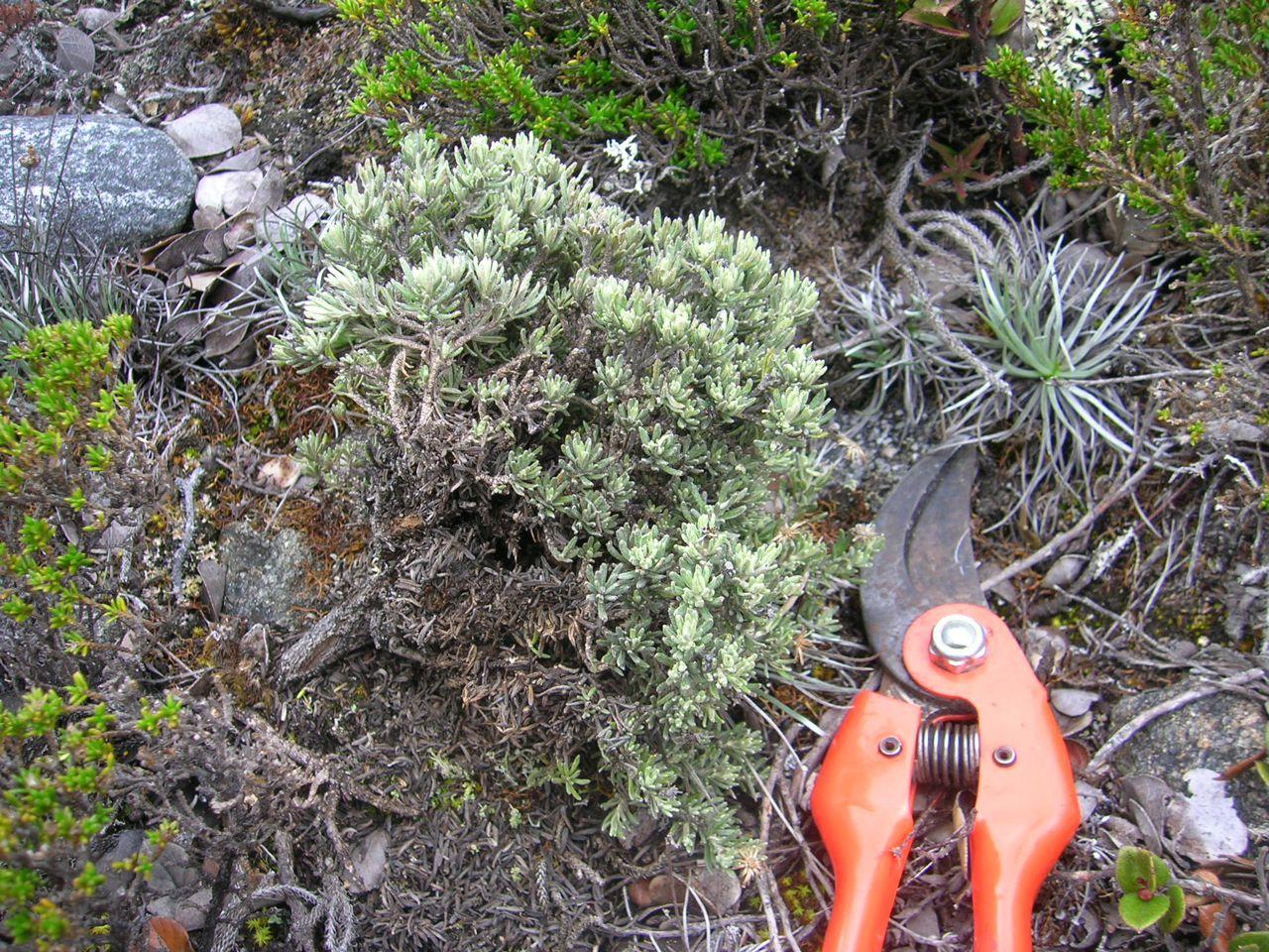 Diplostephium apiculatum.jpg