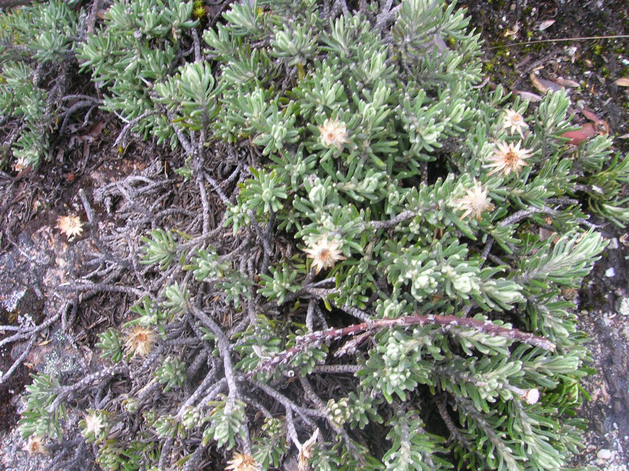 Diplostephium apiculatum-2.jpg