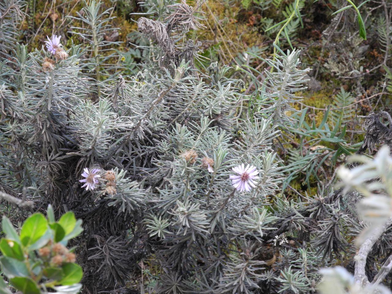Diplostephium azureum.jpg