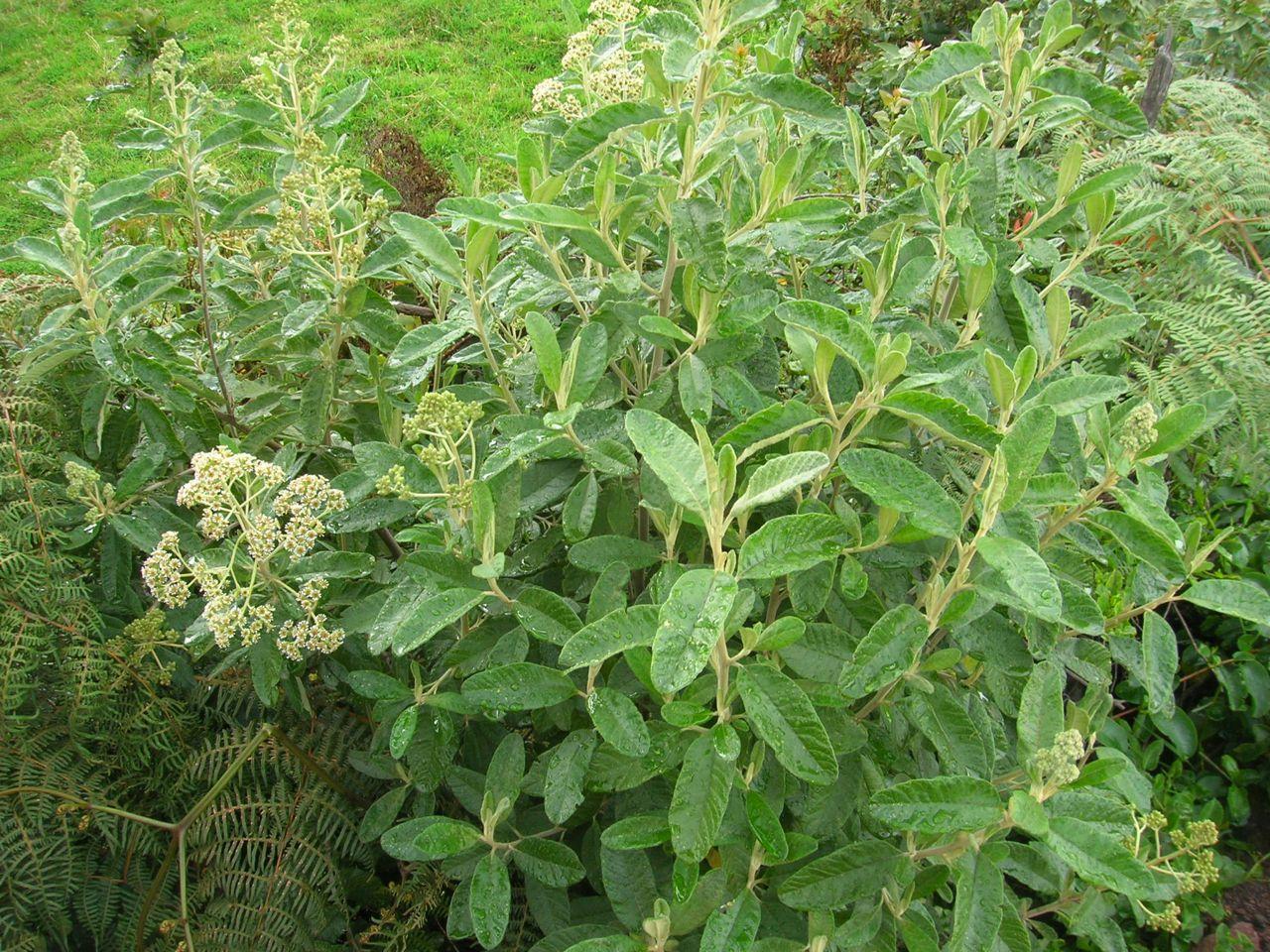 Diplostephium camargoanum-2.jpg