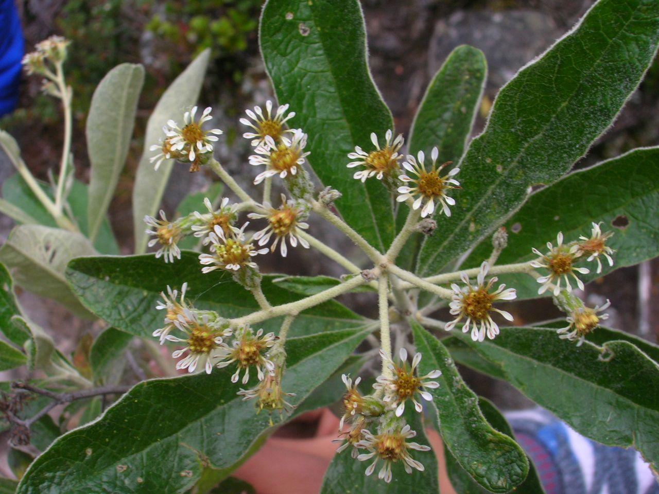 Diplostephium camargoanum-4.jpg