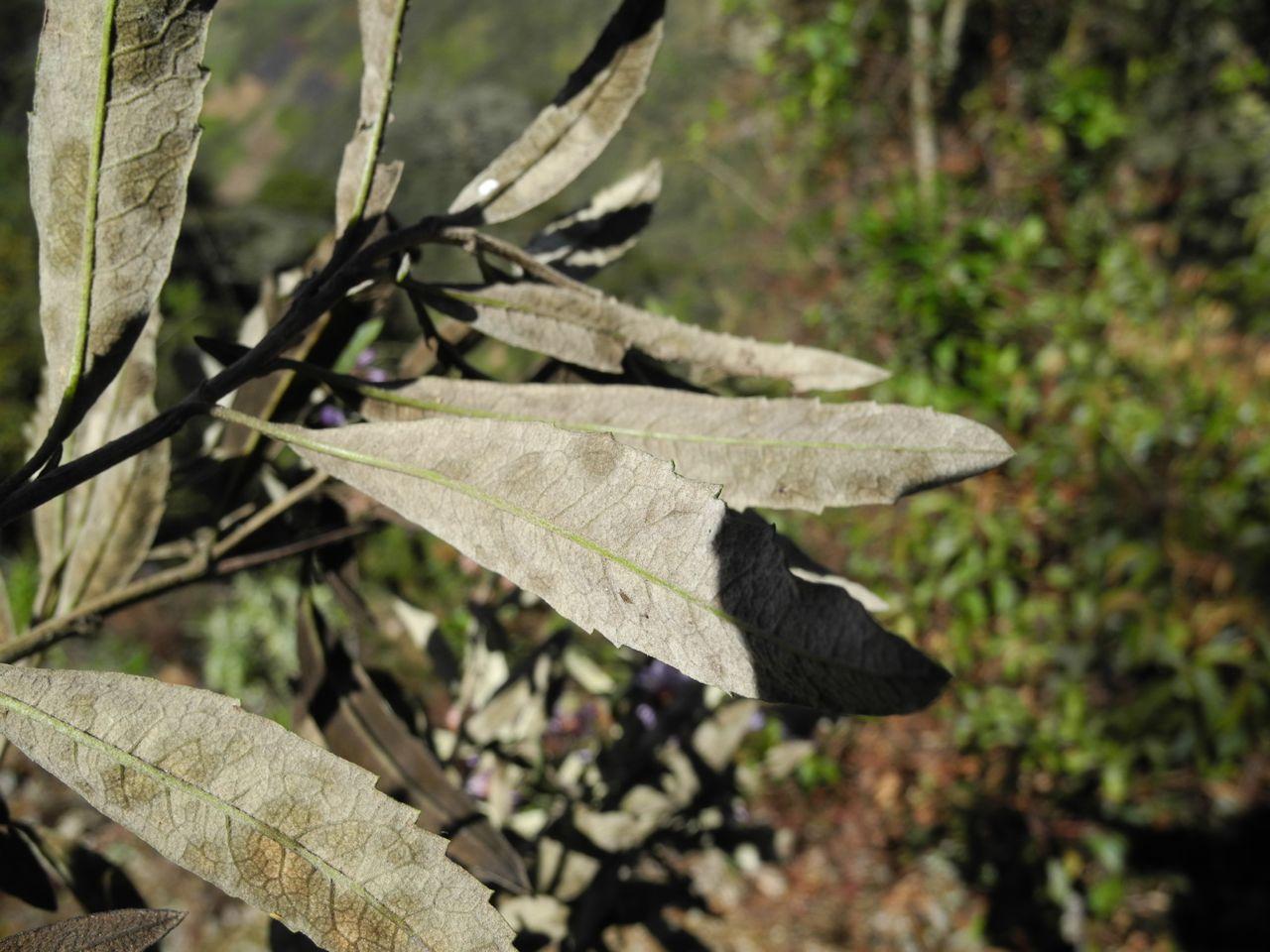 Diplostephium cf. wurdackii-2.jpg