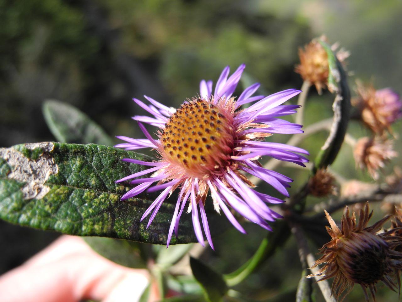 Diplostephium cf. wurdackii-3.jpg