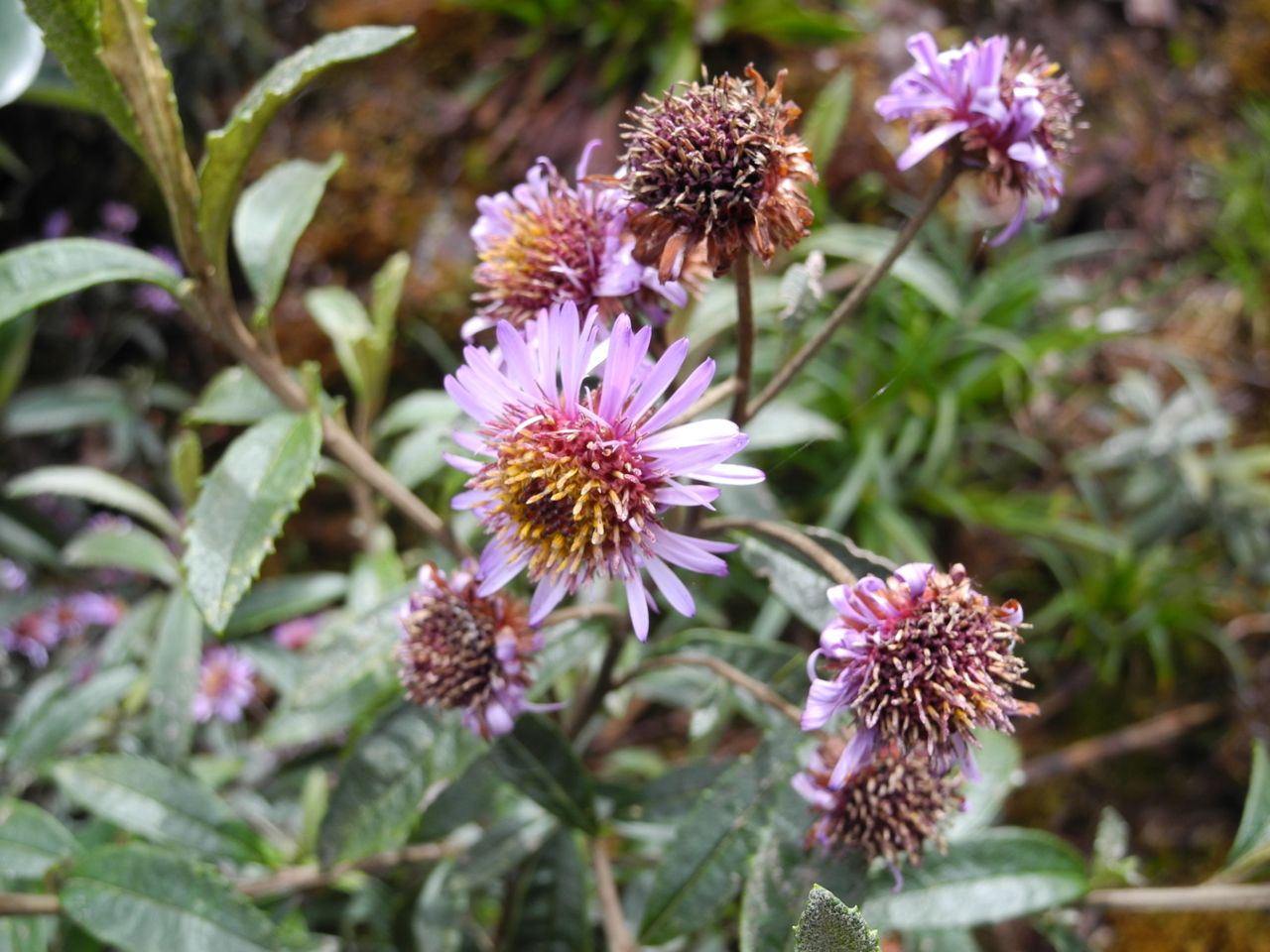 Diplostephium cf. wurdackii-5.jpg
