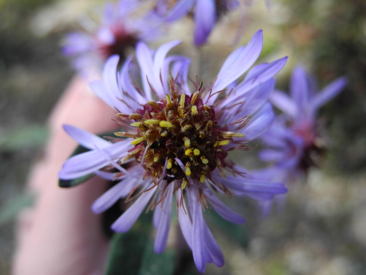 Diplostephium cf. wurdackii.jpg