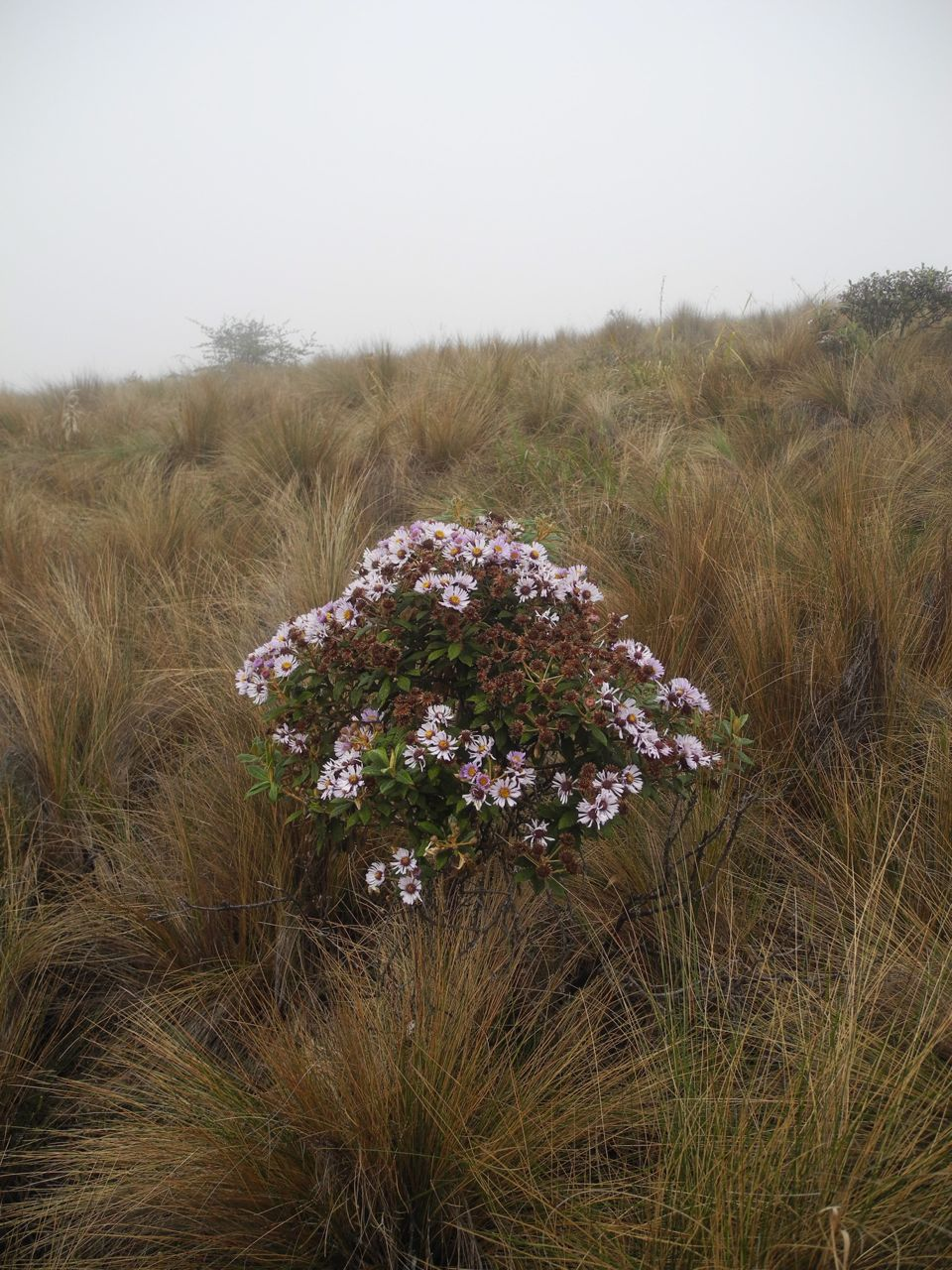 Diplostephium haenkei-3.jpg