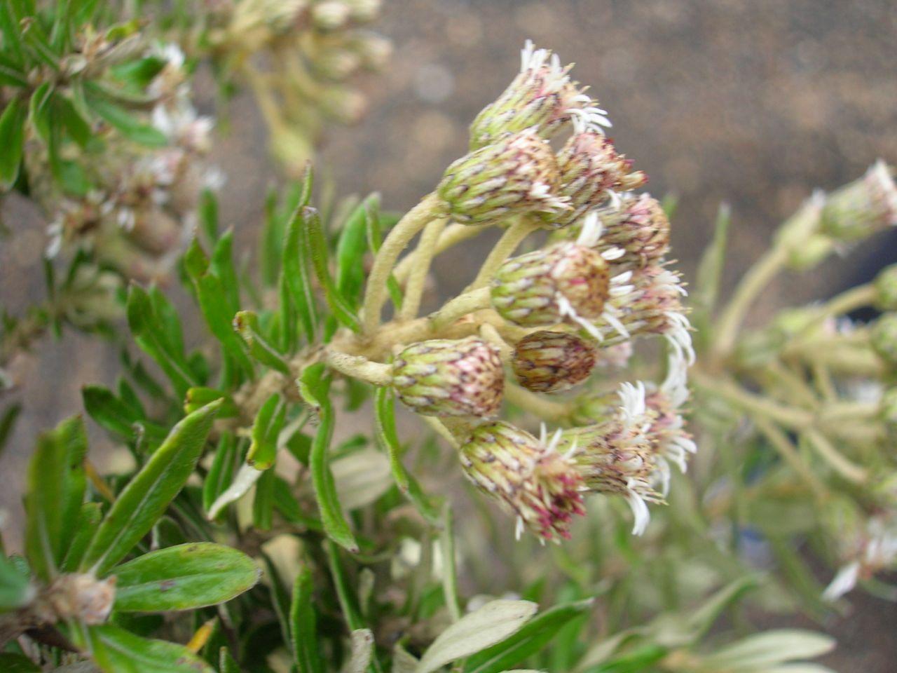 Diplostephium heterophyllum-2.jpg