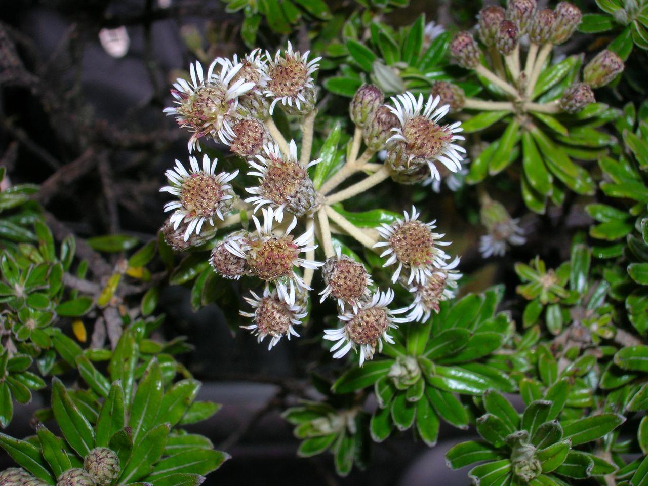 Diplostephium heterophyllum.jpg