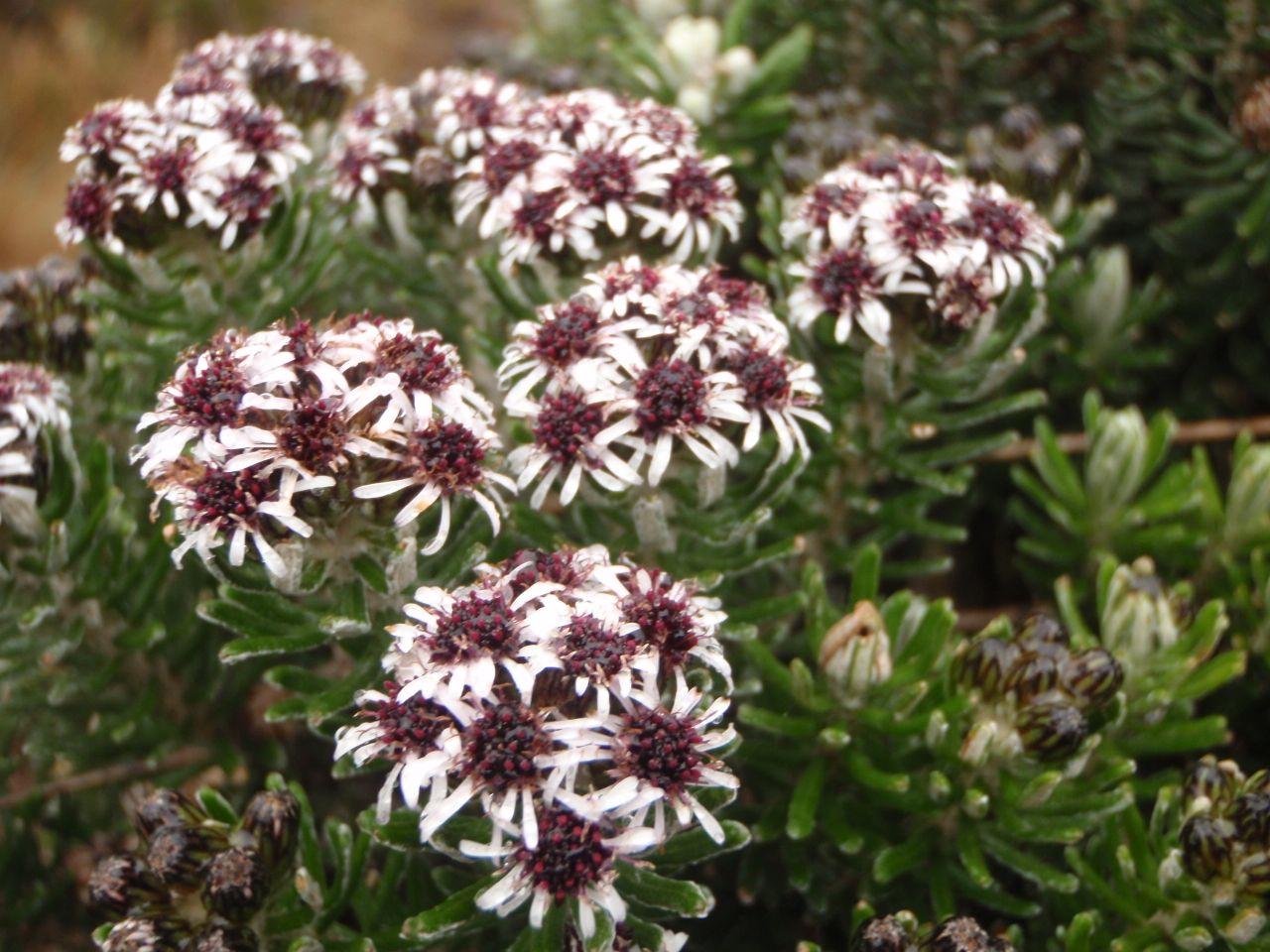 Diplostephium lacunosum-3.jpg