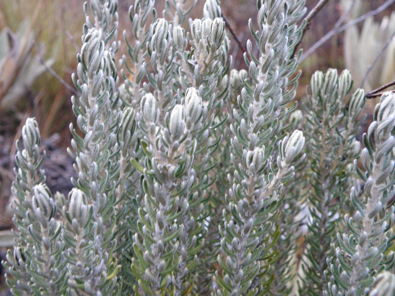 Diplostephium lacunosum.jpg