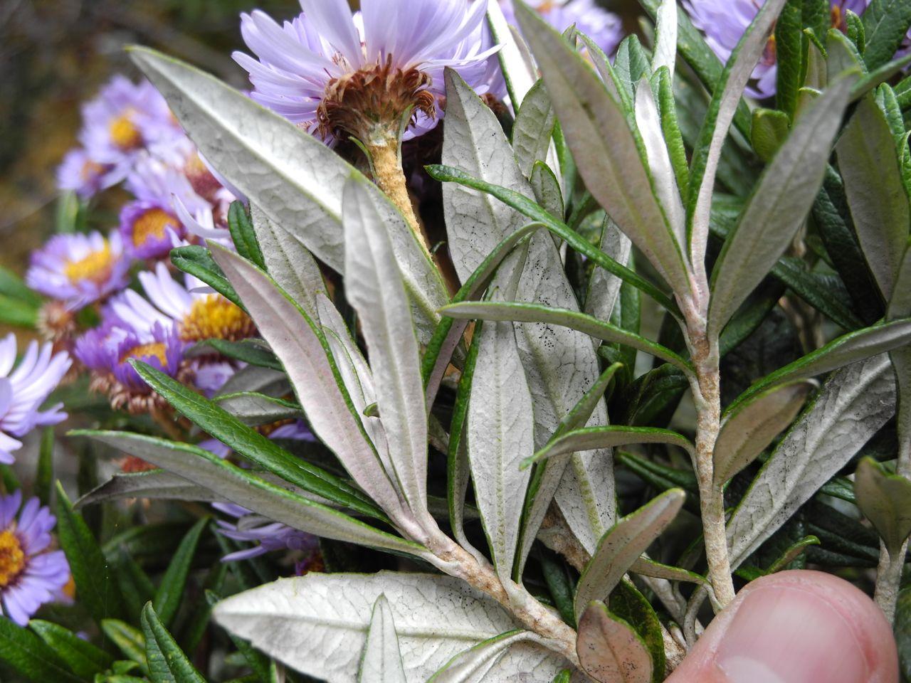 Diplostephium lecheri-3.jpg