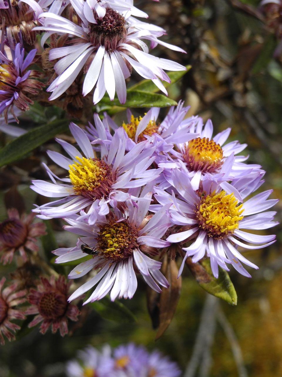 Diplostephium lechleri.jpg