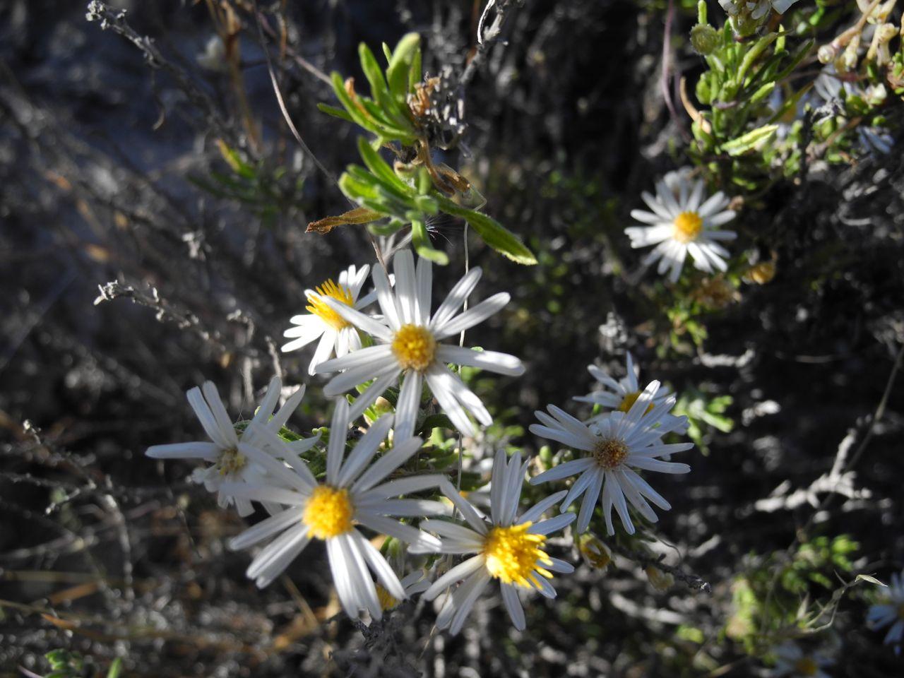 Diplostephium meyenii-2.jpg
