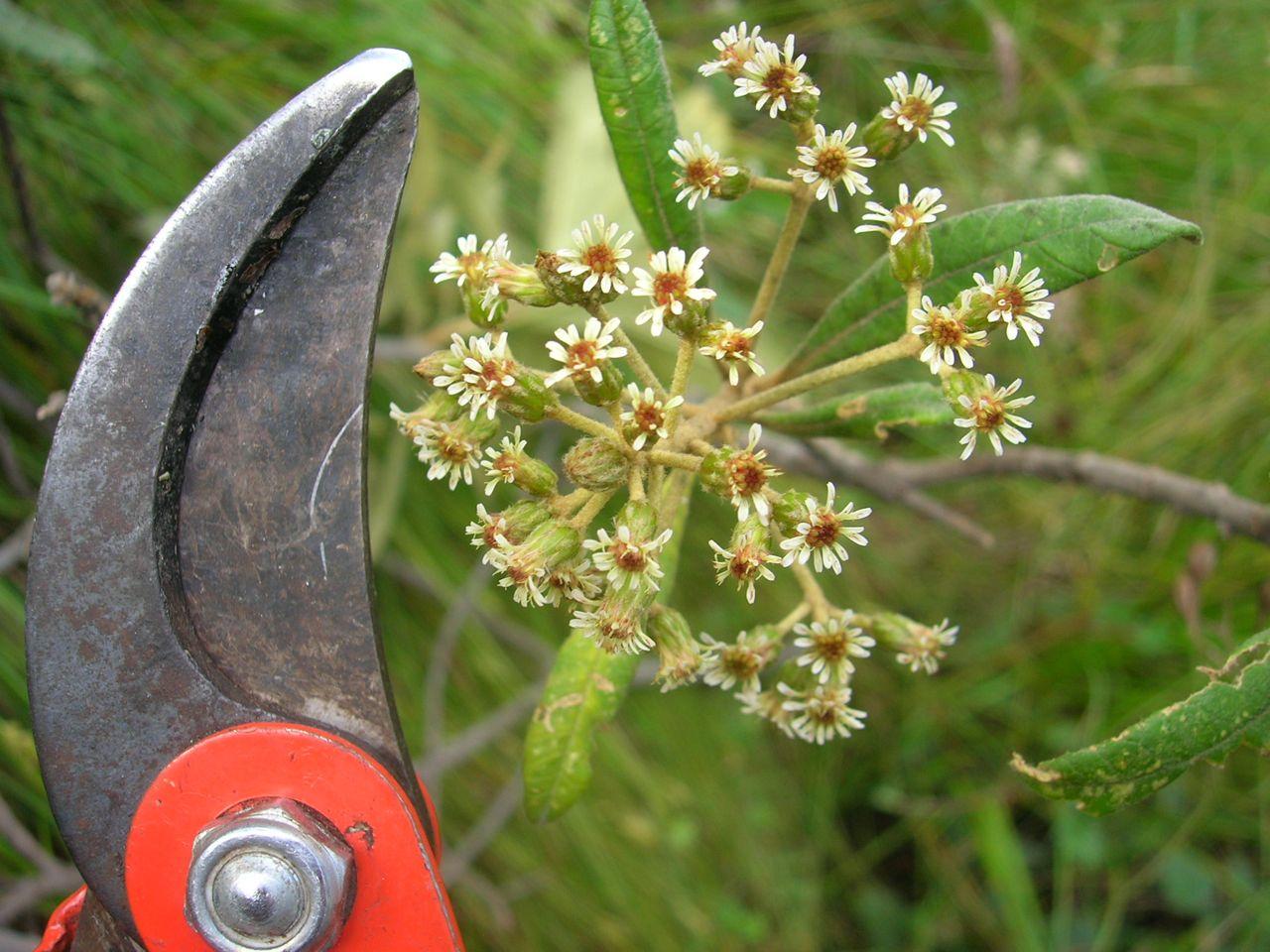 Diplostephium oblongilifolium-3.jpg