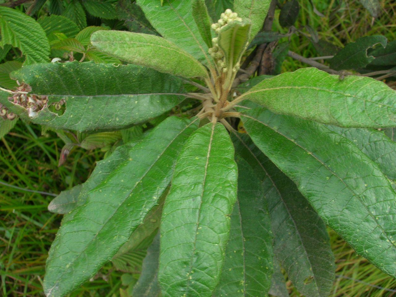 Diplostephium oblongilifolium-2.jpg