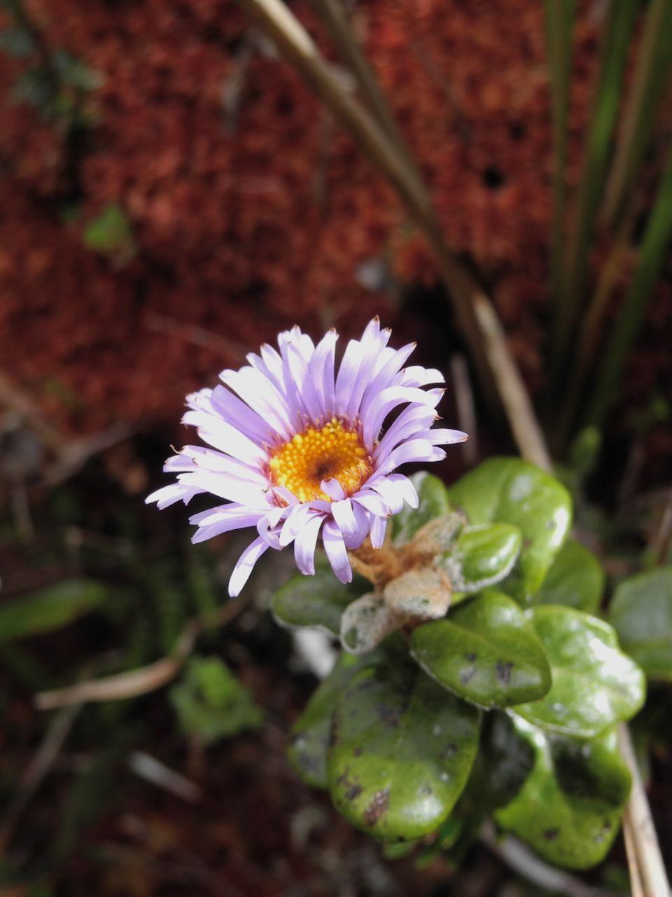 Diplostephium oxapampanum.jpg