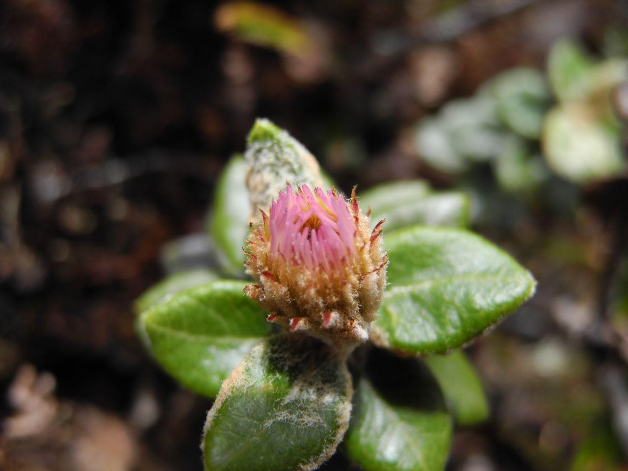 Diplostephium oxapampanum-4.jpg