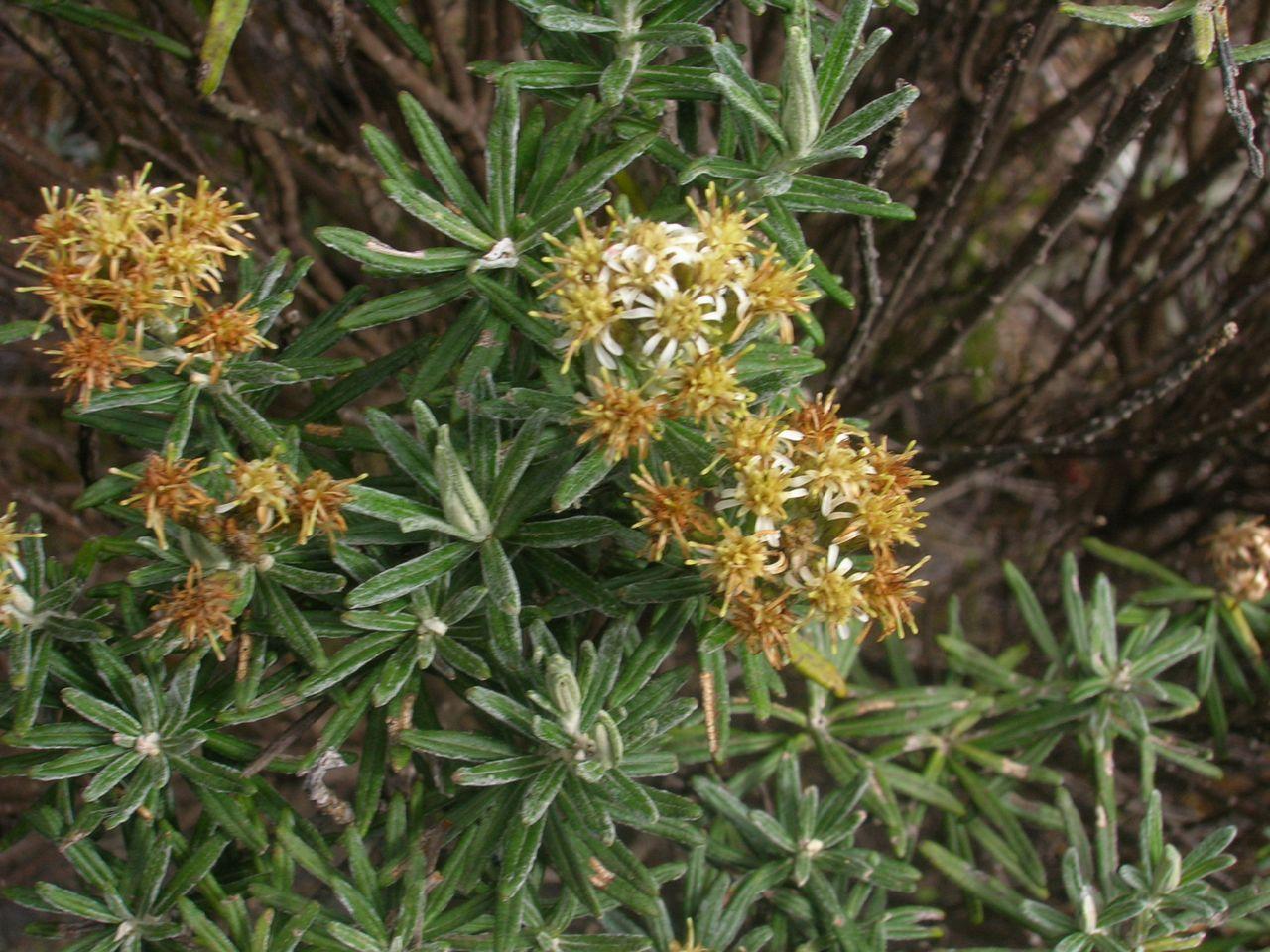 Diplostephium rosmarinifolium-3.jpg