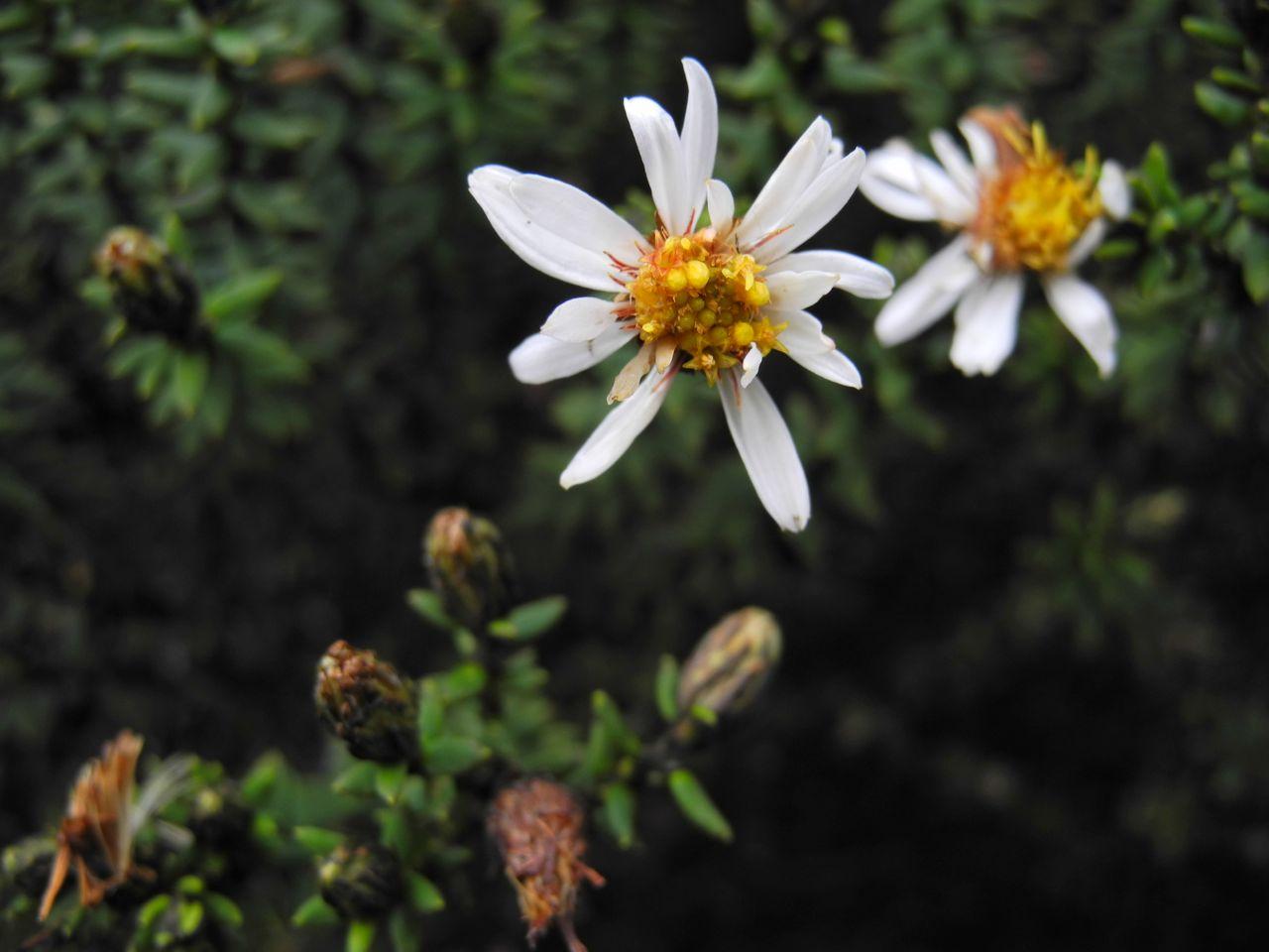 Diplostephium spinulosum-2.jpg