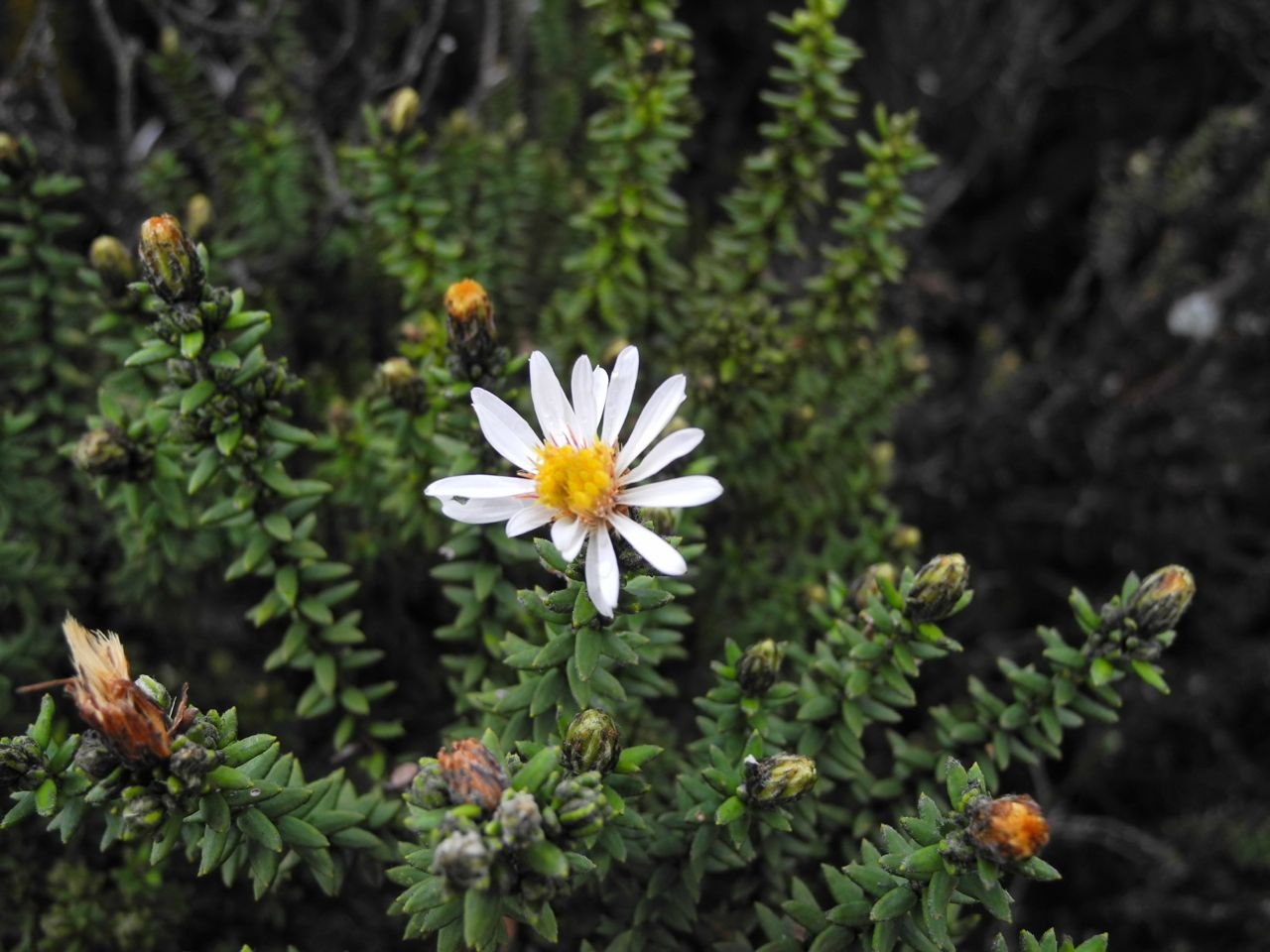 Diplostephium spinulosum-3.jpg