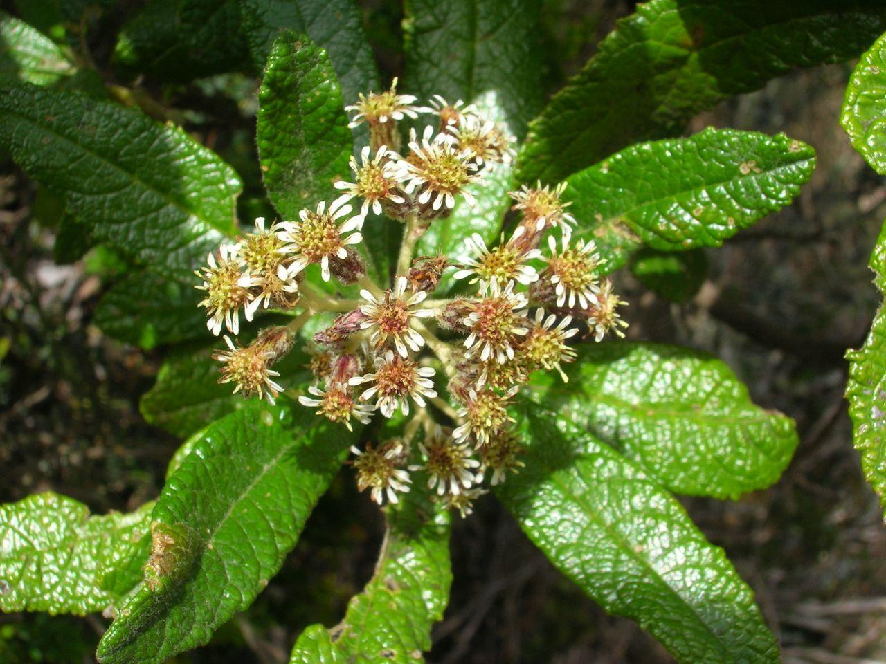 Diplostephium tenuifolium-2.jpg