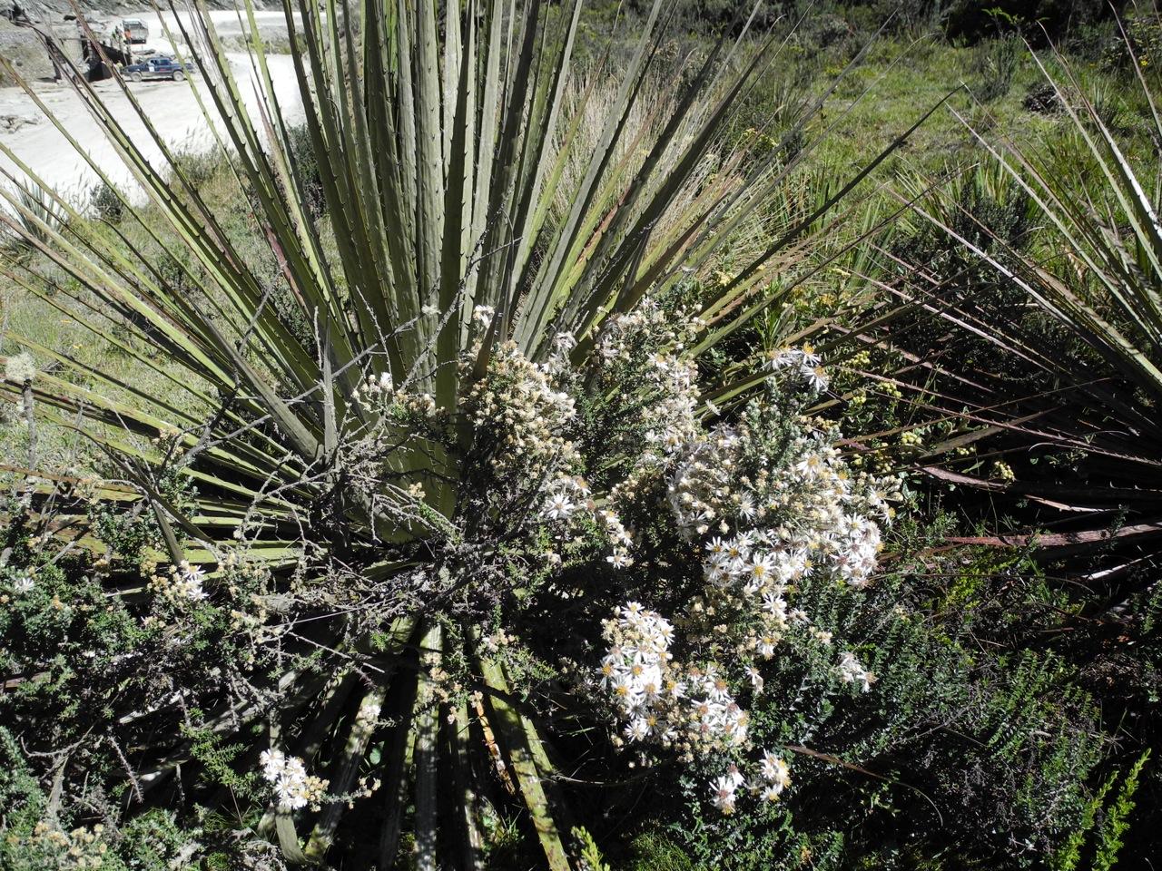 Diplostephium barclayanum-12.jpg