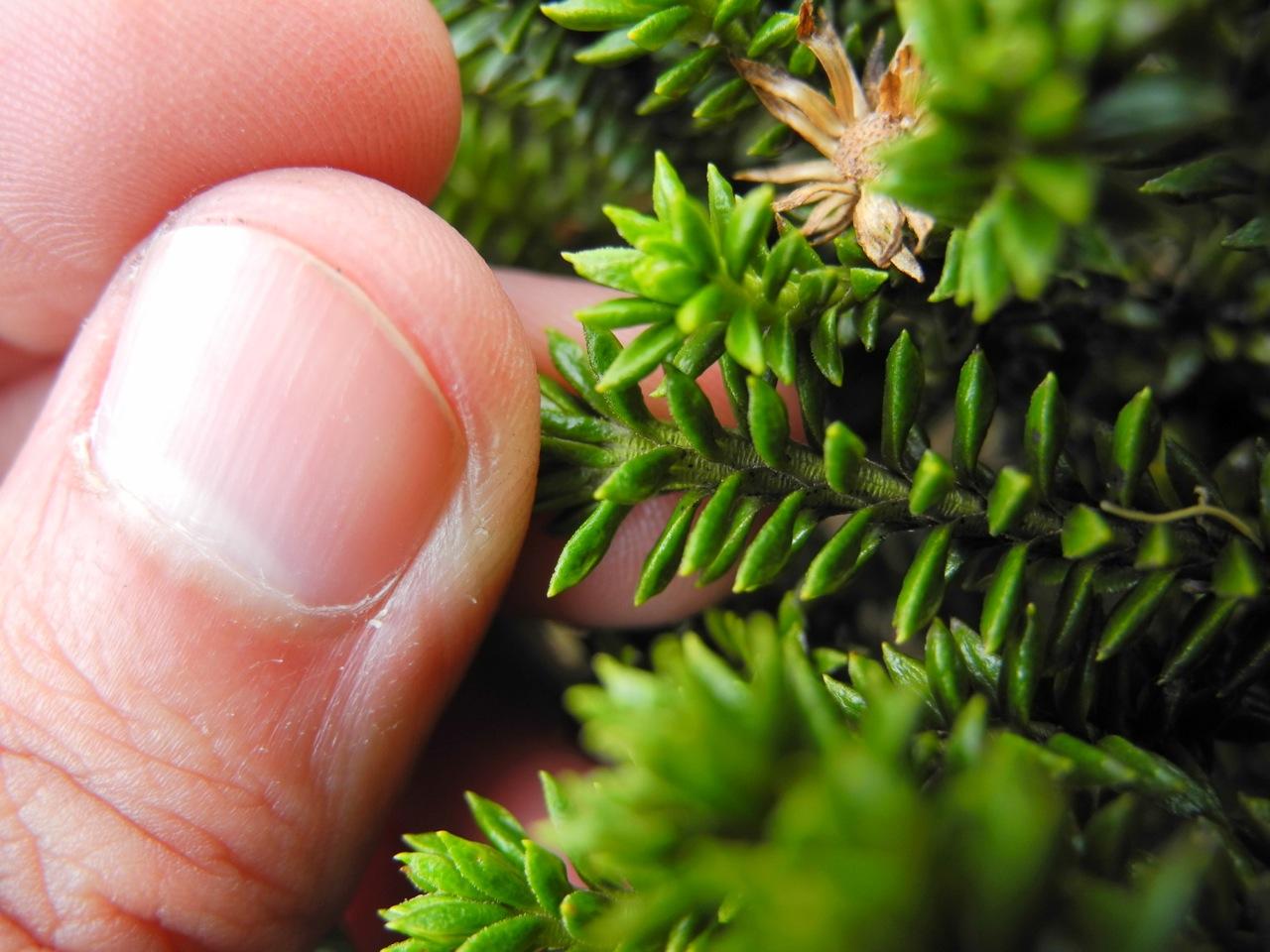 Diplostephium crypteriophyllum-6.jpg