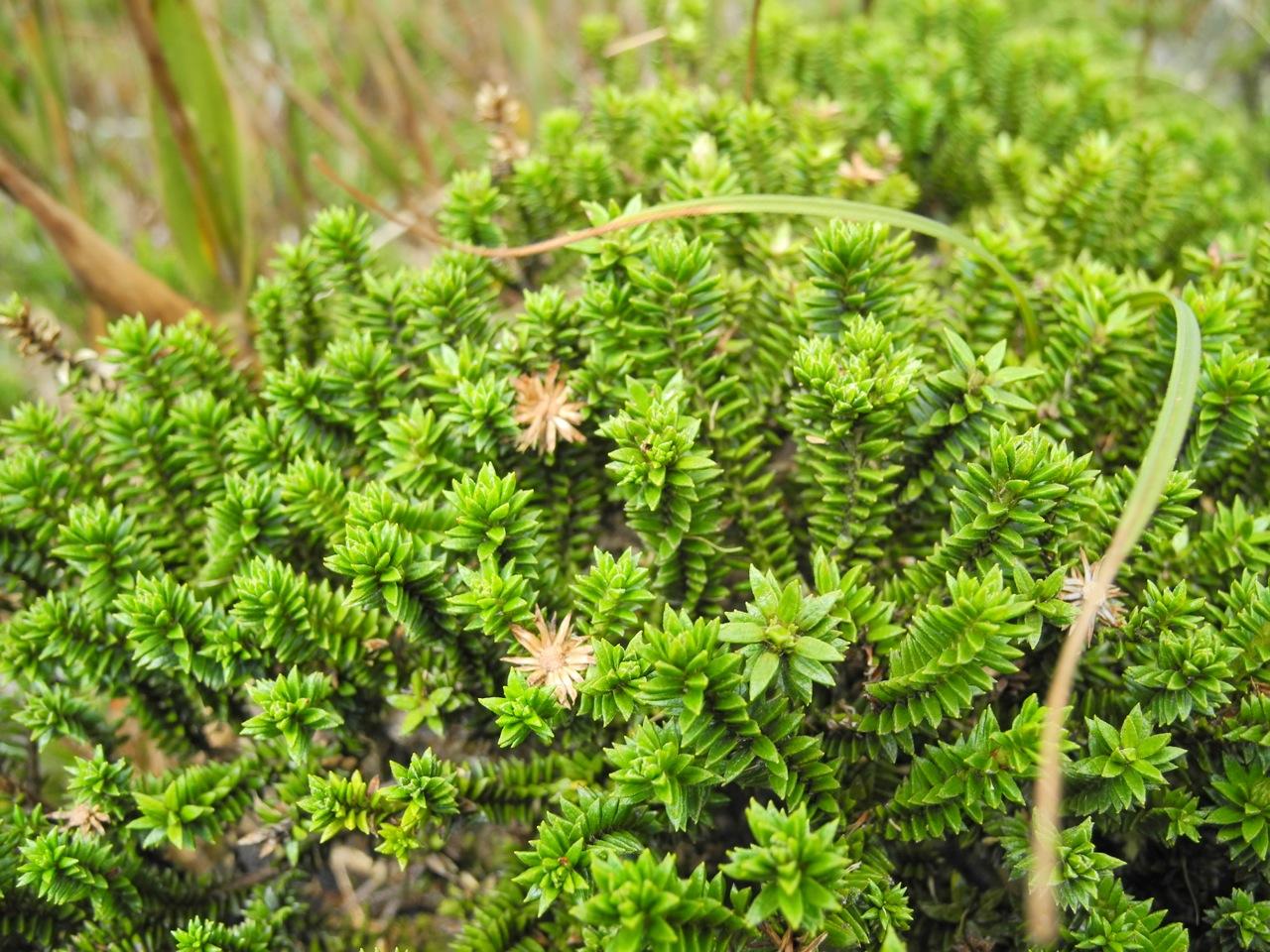 Diplostephium crypteriophyllum.jpg