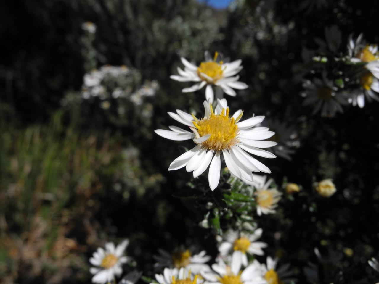 Diplostephium ericoides-4.jpg