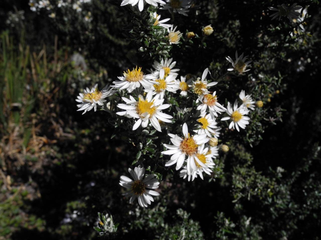 Diplostephium ericoides-2.jpg