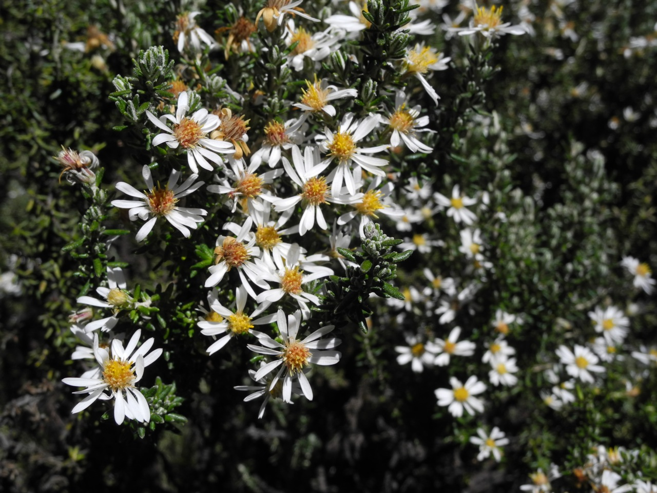 Diplostephium ericoides-12.jpg