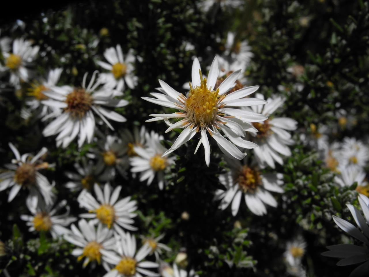 Diplostephium ericoides-21.jpg