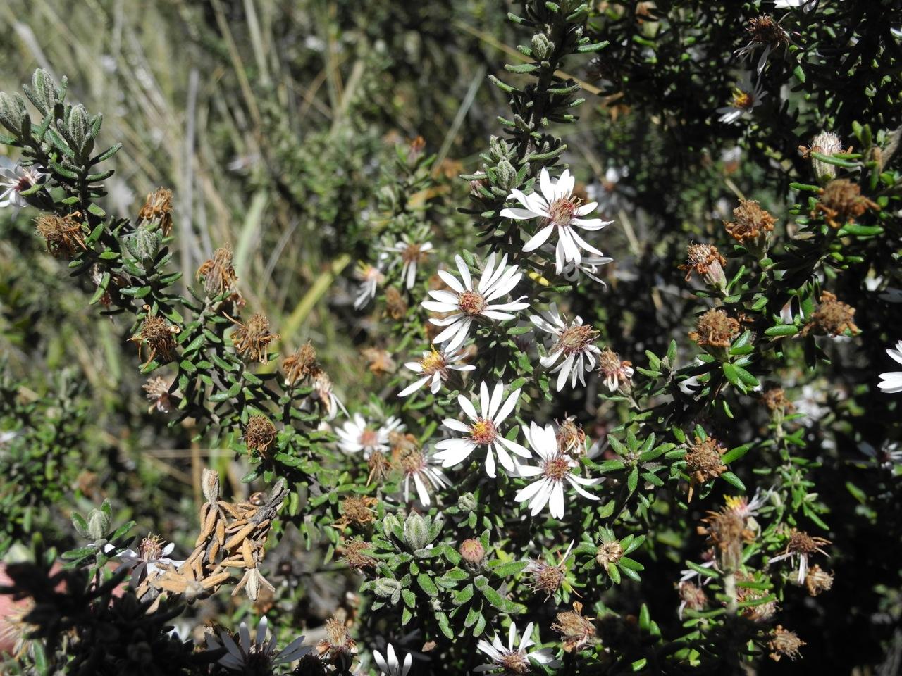 Diplostephium ericoides-27.jpg