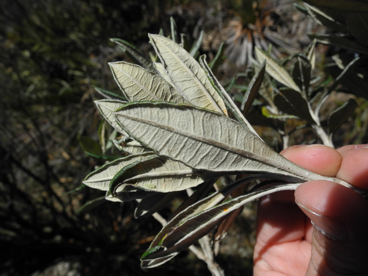 Diplostephium floribundum-26.jpg