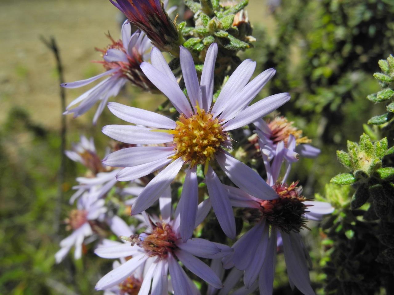 Diplostephium hartwegii-5.jpg
