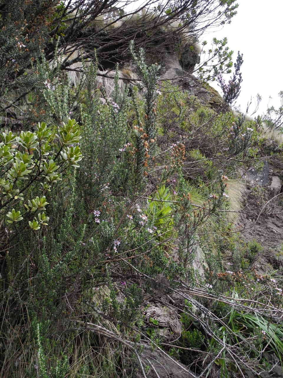 Diplostephium hartwegii-60.jpg