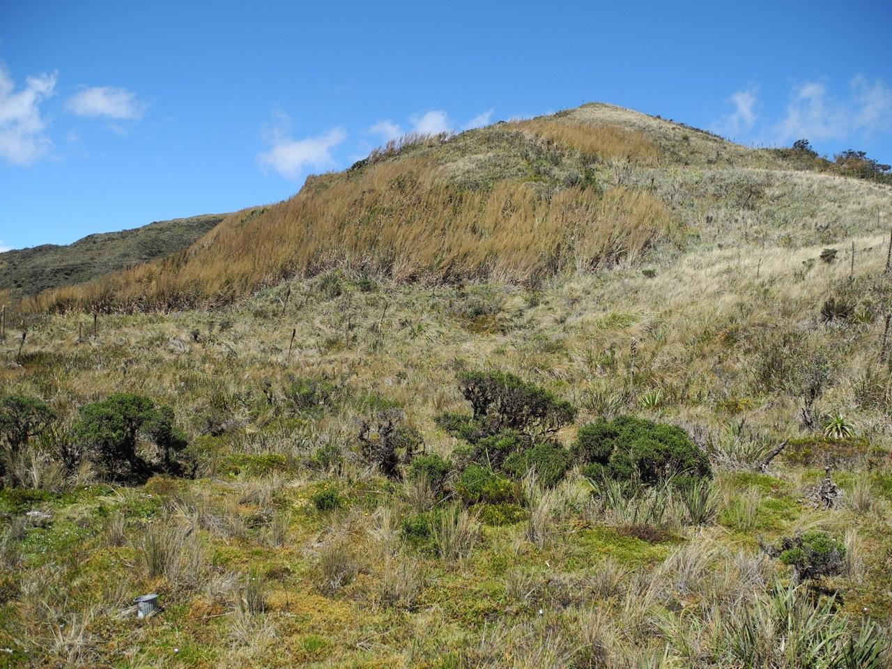 Diplostephium juniperinum-2.jpg