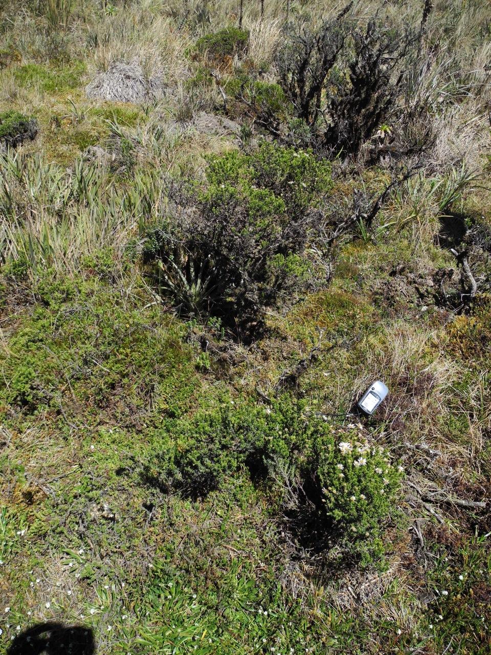 Diplostephium juniperinum-1.jpg