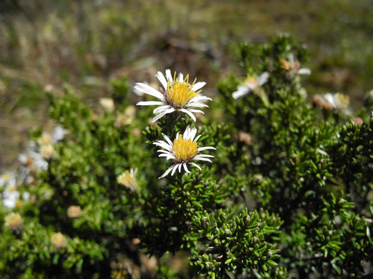 Diplostephium juniperinum-3.jpg