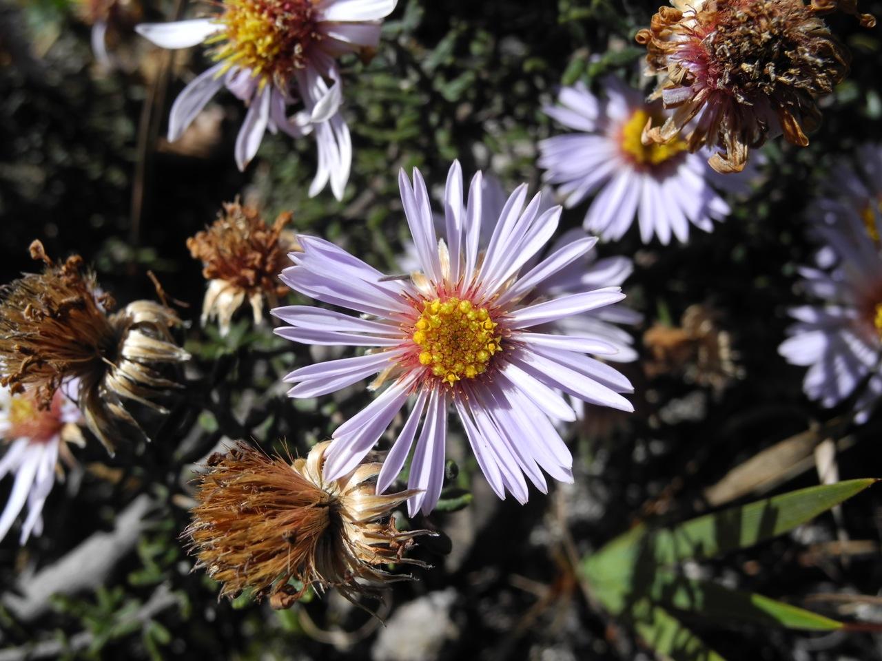 Diplostephium oblanceolatum-2.jpg