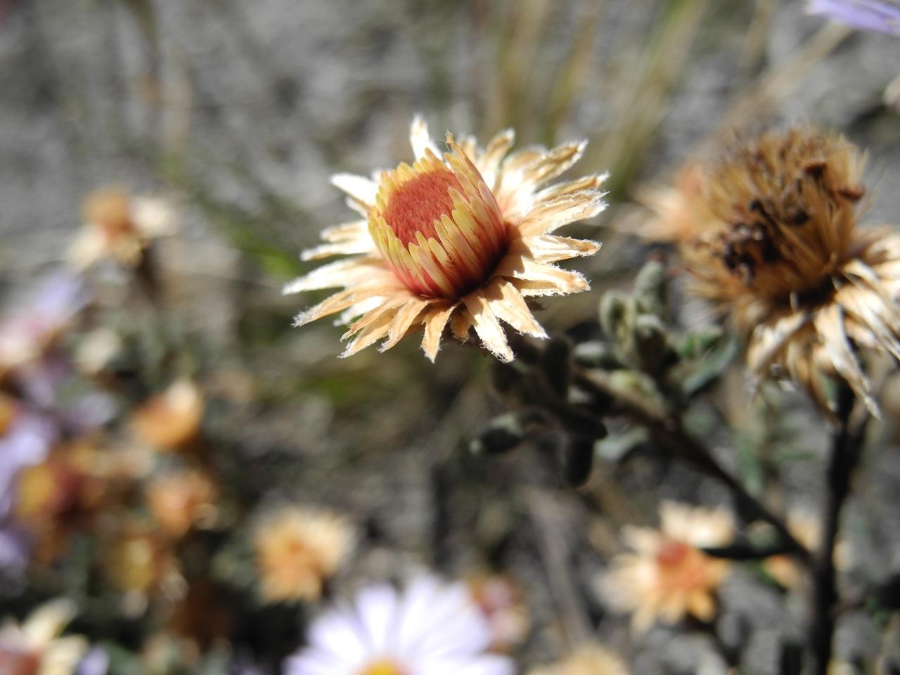 Diplostephium oblanceolatum-4.jpg