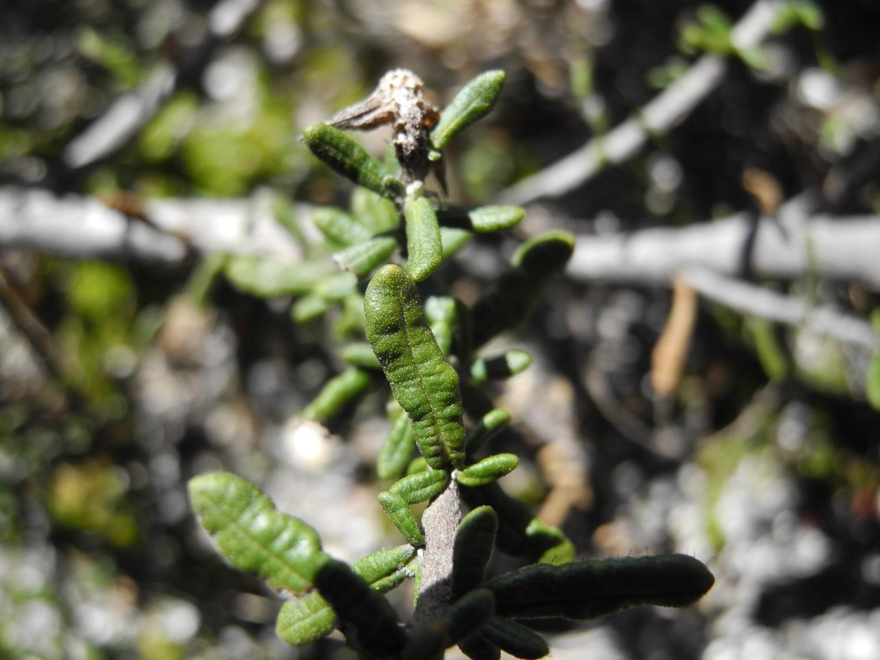 Diplostephium oblanceolatum-9.jpg