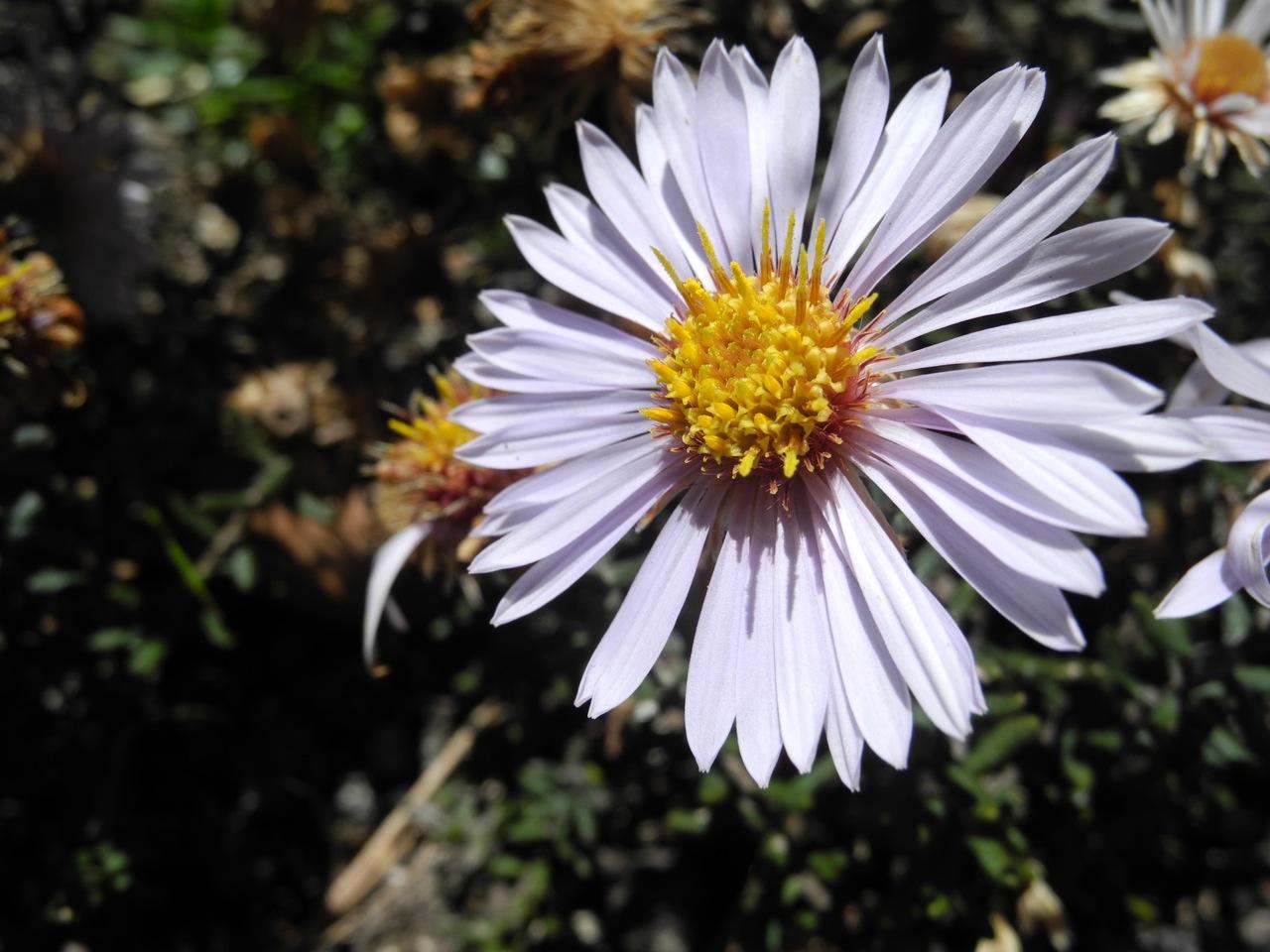Diplostephium oblanceolatum-7.jpg