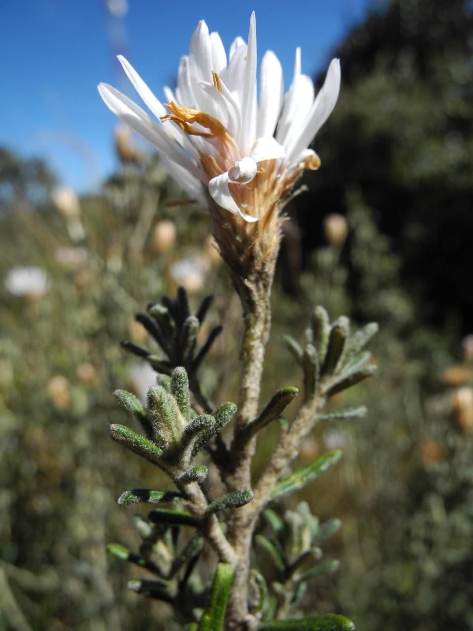 Diplostephium oblanceolatum-14.jpg