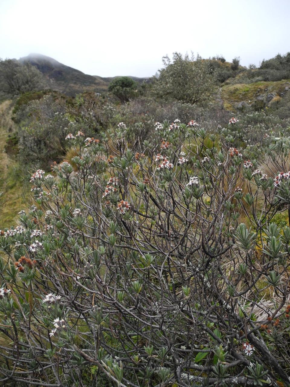 Diplostephium rupestre-1.jpg