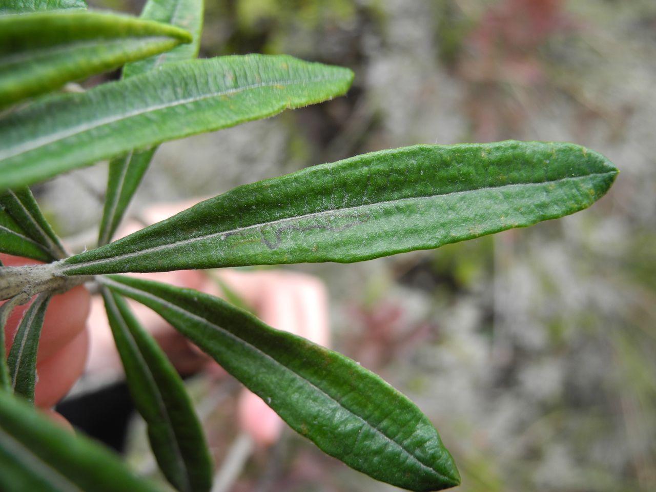 Diplostephium floribundum