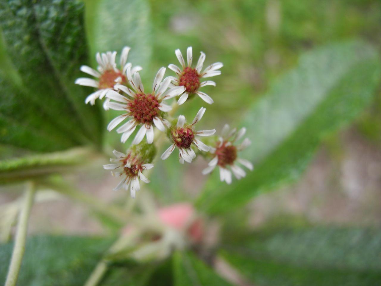 Diplostephium tenuifolium